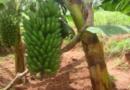 Bamwe mu baturage  b'i Karenge bashima uruganda UMVIRIZA Ltd rwenga urwagwa  mu bitoki
